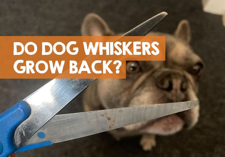 do dogs whiskers grow back if cut
