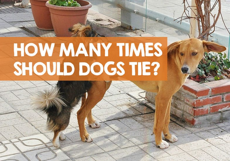 How many times should you let a dog tie
