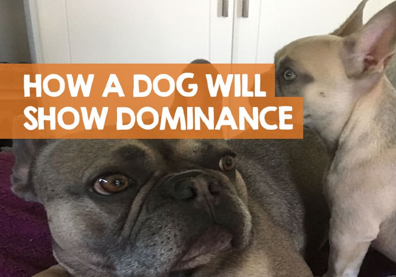 How Does A Dog Show Dominance Over Another Dog