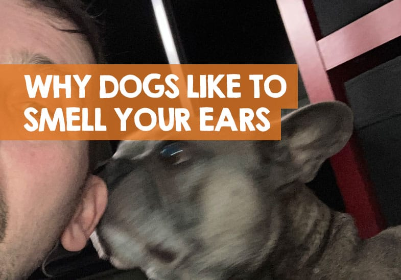 Why Does My Dog Smell My Ears