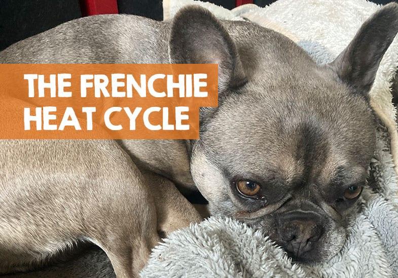 French bulldog heat cycle