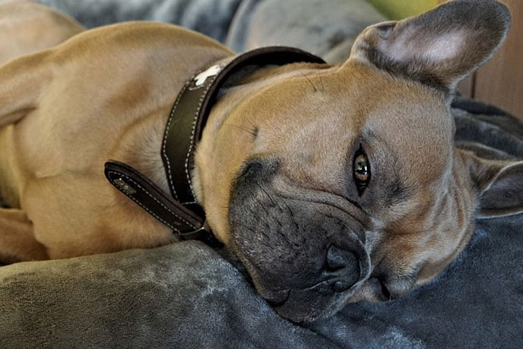 how long a French bulldog is in heat for