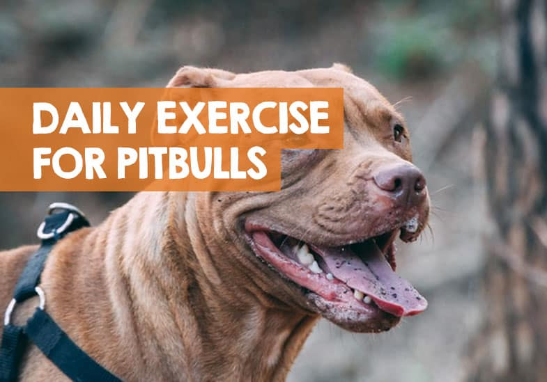 How Much Exercise Does a Pitbull Need Daily