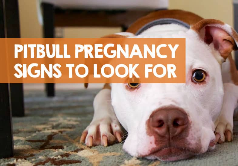 how to tell if your pitbull is pregnant