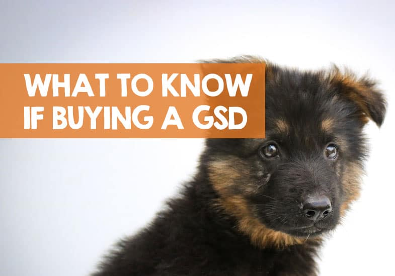 what to know when buying a German shepherd
