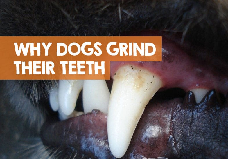 why does my dog grind his teeth