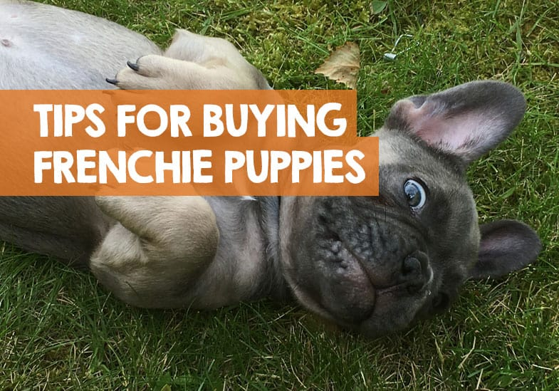 what to look for when buying French bulldog