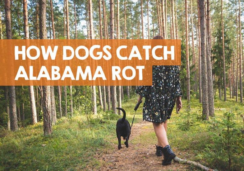How do Dogs Catch Alabama Rot